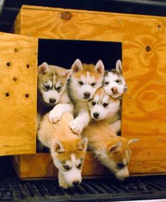 How many Husky pups can you fit in one little dog house?