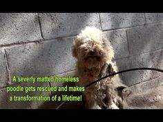 He lets a homeless Poodle into his Car. Now keep your eyes on the Dog's Fur. - weloveanimals.me