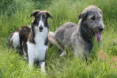 Russian and Irish Wolfhound. Put Raven in there, and it's my doggie dream come true.