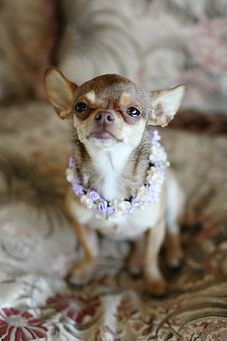 A cuteeeeeeee chihuahua dog.