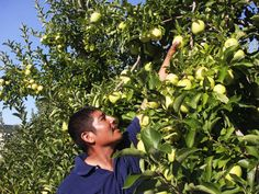 Jose Martinez in the Adams County, Pa., orchard where he's working this year. He's been coming to the county for the apple harvest for the past 13 years.