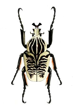 It& a bird it& a plane it& a zebra.no Goliath Beetle. Dragonfly Insect, Insect Art, Beetle Insect, Beetle Bug, Cool Insects, Bugs And Insects, Goliath Beetle, Especie Animal, Arte Cyberpunk