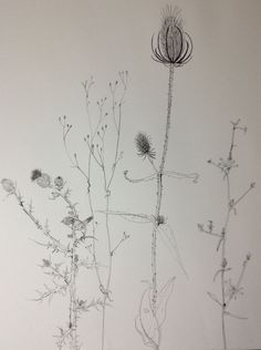 Plant drawing Sylvia Wadsley Draw in the hallway up stairs. Botanical Drawings, Botanical Art, Illustrations, Illustration Art, Plant Drawing, Nature Journal, Sketchbook Inspiration, Fauna, Textile Art