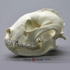 Lesser Panda Skull - Bone Clones, Inc. Skeleton Muscles, Human Skeleton Anatomy, Skull Anatomy, Skeleton Bones, Skull And Bones, Animal Anatomy, Animal Skeletons, Animal Skulls, Skull Reference