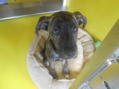 Animal Details If I was back in Kansas, I would totally be getting this gal. Waaaaaaay cuuuuuuuute!!! ahhhh!  Brynn, Breed	Boxer/Mix  Age	5 months 8 days  Sex	Female  Size	Medium  Color	Brindle