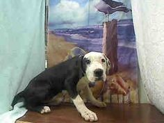 ***4/4/15 URGENT -JUST A PUPPY!!! #A447402 (Moreno Valley, CA) Female, white and black Pit Bull Terrier mix. The shelter thinks I am about 4 months old I have been at the shelter since Apr 02, 2015 and I am available for adoption now! Moreno Valley Animal Shelter at (951) 413-3790 https://www.facebook.com/135559229932205/photos/pb.135559229932205.-2207520000.1428082493./455157571305701/?type=3&theater