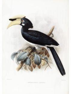 14 Temmincks Pied Hornbill