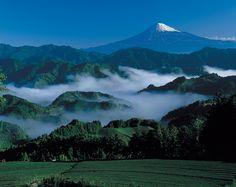 일본 녹차밭