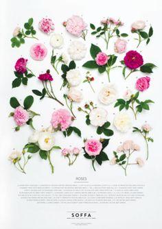 Poster ROSES featuring ANTIQUE ROSES, designed by SOFFA and Flower Deli | Photo: Adéla Havelková / Concept and styling: Flower Deli (Květinové lahůdkářství) | #SoffaMag #Design #Lifestyle #Flowers #Roses #Pink #Antique