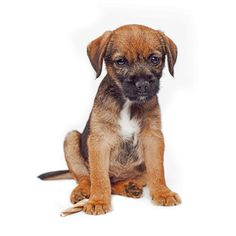 #cutiepie #borderterrier Visit NoahsDogs.com and take our compatibility test to see if a BT is the right match for you!