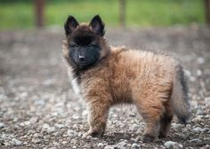 Belgian Tervuren. The type of dog Matt wants when we move out of town :). Such fluffy puppies!!
