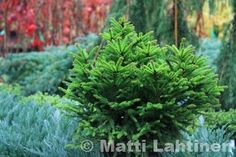 Siirry tuotteeseen Picea Abies, Herbs, Plants, Herb, Plant, Planets, Medicinal Plants
