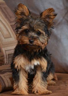 Woof!  Yorkie Puppy