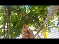Custard apple pollination - YouTube