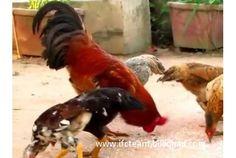 Khmer Chicken (Clear)