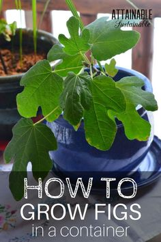 Fig trees are great for urban gardeners. They do well in containers, making them a productive fruit tree that can provide a harvest in small spaces.