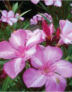 Nerium oleander 'Simie' – Rózsaszín-fehér csíkos virágú leander Nerium, Small Trees, Tropical Garden, Hedges, Shrubs, Bloom, Plants, Natural Beauty, Flower