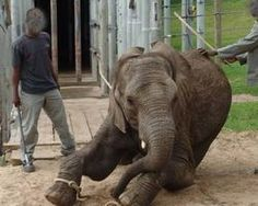 The National Council of Societies for the Prevention of Cruelty to Animals (NSPCA) has received horrific footage showing the cruel training methods used at the Elephants of Eden park in South Africa to train baby elephants for the tourism industry. Click for details and please SIGN and share petition. Thanks.