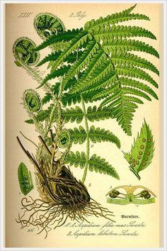 лекарственные растения рисунок: 3 тыс изображений найдено в Яндекс.Картинках