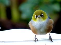 Silvereye - Wax Eye - New Zealand by AndreaEL . Looks like one of the angry-birds(from the game). Birds Of Prey, All Birds, Little Birds, Love Birds, Angry Birds, Pretty Birds, Beautiful Birds, Animals Beautiful, Cute Animals