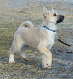 Norwegian (Norsk, Nordiske) Buhund (Sheepdog)