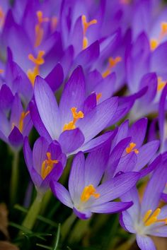 Crocus- one of our first signs of spring