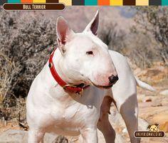 Origen: Reino Unido Tamaño: Aprox. de 56 cm. Conoce más de este valiente perro en: http://www.universomascotas.co/razas/perros/bull-terrier/121