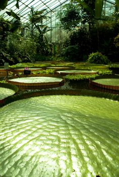 giant amazon water lilies... I would have a very hard time resisting the temptation to jump from one to the other :)