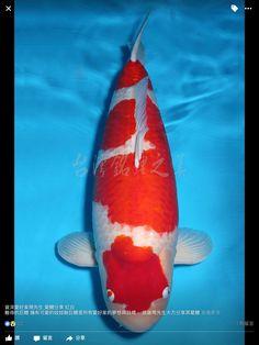 Carpe Koi, Koi Fish Pond, Japanese Koi, Kohaku, Beautiful Fish, Goldfish, Animals, Colorful, Patterns