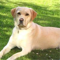 Adiestramiento de Perros Labradores