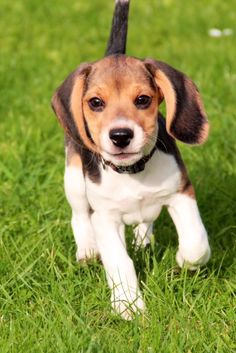 Are you interested in a Beagle? Well, the Beagle is one of the few popular dogs that will adapt much faster to any home. Cute Beagles, Cute Puppies, Cute Dogs, Dogs And Puppies, Doggies, Fluffy Puppies, Animals And Pets, Cute Animals, Fluffy Animals