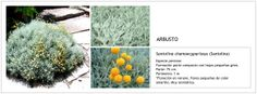 Santolina chamaecyparissus (Santolina)
