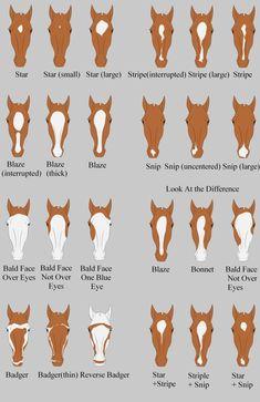 Names of Horse face markings Pretty Horses, Horse Love, Beautiful Horses, Horse Riding Tips, Horse Tips, Horse Markings, Horse Anatomy, Horse Facts, Horse Camp