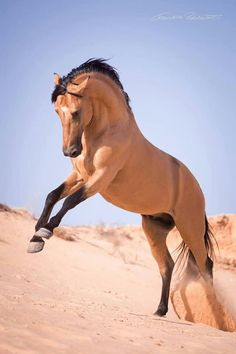 Buckskin colored horse with a rearing leap in the sand.