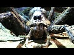 How REAL MEN Deal With MASSIVE Australian Spiders