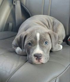 Sweet little Pitbull puppy - Did you know that the are related to the Alapaha Blue-Blood Bulldog? http://doggiewoof.com/alapaha-blue-blood-bulldog-4/