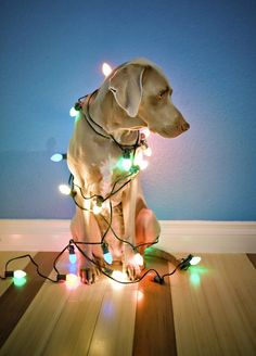 This is a preview of one of my family's former Christmas cards. I think this picture stands well on its own, so here is just the one for now. As you can see, I wasn't the biggest fan of having the lights wrapped around me. However, I was well compensated with treats. In less than a week, it will be Christmas! Love, Sage.