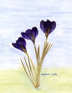 Waldorf ~ 5th grade ~ Botany ~ Crocus ~ Flower Press Project ~ main lesson book