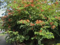 Bauhinia galpinii - known as the Red Orchid Bush - Good bush for kids hiding in apparently