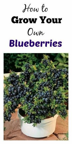 How To Grow Your Own Blueberries | Dreaming Gardens                                                                                                                                                     More