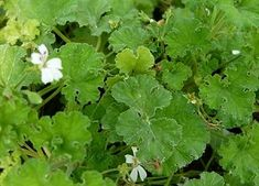 APPLE SCENTED GERANIUM Large rounded green leaves with a strong apple fragrance. Continuous blooms of small white flowers. Rounded and trailing compact habit makes a magnificent container plant. Perennial zones 10 - 11+