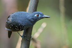 Myrmeciza hyperythra - Plumbeous Antbird - Hormiguero Plomizo male 02 | by jjarango