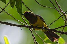 carbonero sultán (Melanochlora sultanea),5 es una especie de ave cantora grande de la familia Paridae. Es propia del sur y sureste de Asia. Esta ave mide aproximadamente 20 cm de largo, y posee una distintiva cresta amarilla, pico oscuro, la parte superior de su plumaje es negra y la inferior es amarillo. Ambos sexos son similares. En la hembra el plumaje de su parte superior es de un tono negro verdoso y la es garganta amarillenta