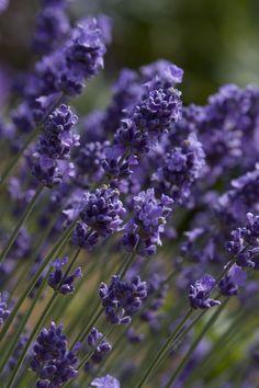 lavender plants... #mosquito #repelling #plants