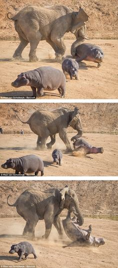 Elephant flips Hippo at Erindi Private Game Reserve in Windhoek, Namibia.