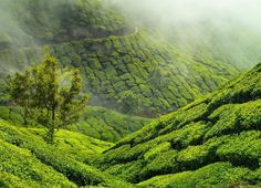 Hotels-live.com/pages/sejours-pas-chers - Latergram :: Munnar tea plantation  Munnar - Kerala India #india #kerala #munnar #teaplantation #picoftheday Hotels-live.com via https://www.instagram.com/p/BFN1gKSvOtw/