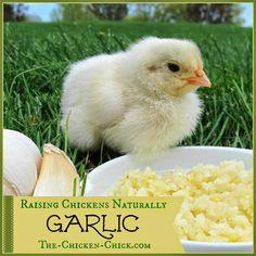 Raising Chickens Naturally- GARLIC with Herbalist, Susan Burek. How to use garlic properly with backyard chickens.