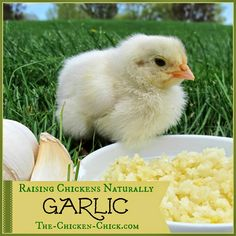 Raising Chickens Naturally- GARLIC with Herbalist, Susan Burek. How to use garlic properly with backyard chickens.