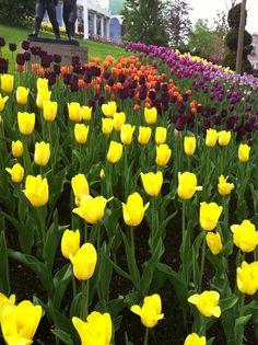 Tulpaner, Liseberg, tulips