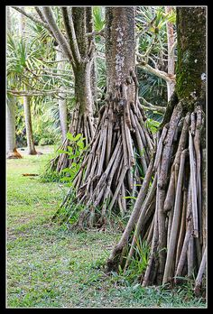 Mauritius - breathing roots in the Pamplemousses Botanical Garden